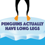 Penguins actually have long legs